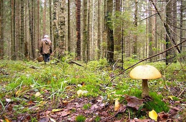Новосибирские спасатели напоминают грибникам, как не потеряться в лесу